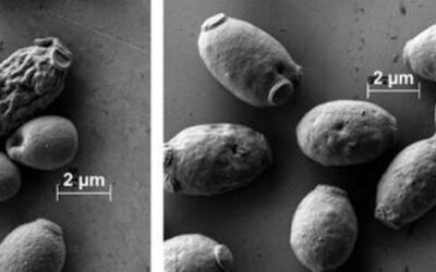 Stronger membranes help yeast tolerate bioenergy production chemicals